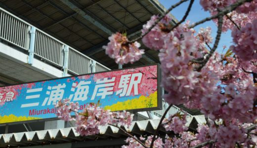 三浦海岸~河津桜