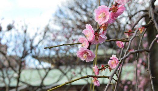 梅花も咲き始める陽気な季節