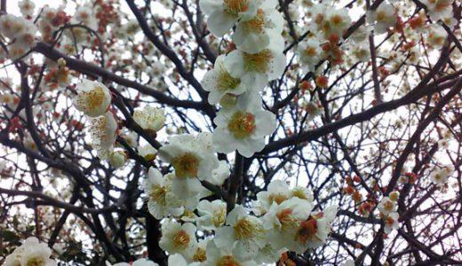 桜と梅の違いを理解してない